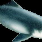 La diga che ha sterminato il delfino bianco