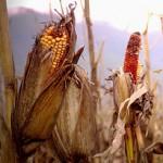 Con i biocarburanti a rischio il fabbisogno alimentare mondiale