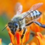 La scomparsa delle api era una bufala?