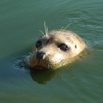 Pellicce di foca, l'Europa ne vieta la vendita