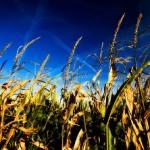 Un enzima trasforma gli scarti dei cereali in biocarburante
