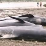 Video: 125 balene spiaggiate in Nuova Zelanda