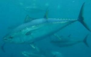 Il tonno rosso può ancora essere pescato