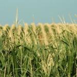 Siccità negli States, prezzi dei cereali destinati a salire