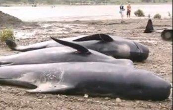 La strage di cetacei